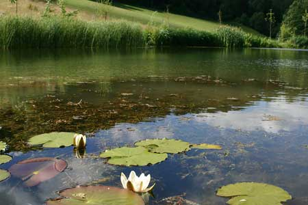 Lake planting with native Nymphaea alba © aquapic