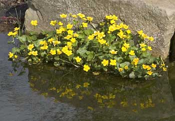 Marsh Marigold/Kingcup, Caltha_palustris © aquapic